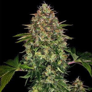 auto-cbd-autofloraison-weedseeshop